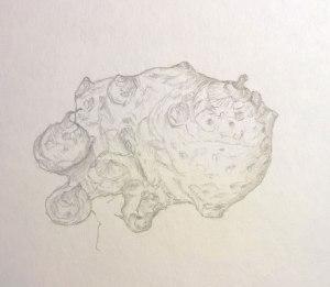 Typhonium_Trilobatum_04_web