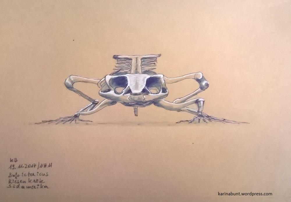 Skelett Riesenkröte Vorderansicht